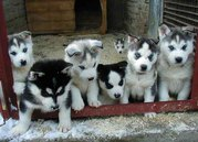Charming Blue eyes Siberian Husky Puppies