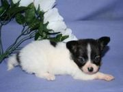 Ckc Registsered Chihuahua puppies for adoption