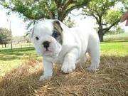 For sale CKC registered ENGLISH BULLDOG