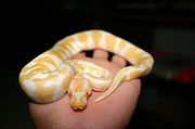 cute and Adorable piebald, albino and ball pythons now available For  A