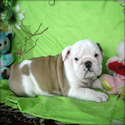 CHRISTMASS ENGLISH BULLDOG PUPPIES GOING.